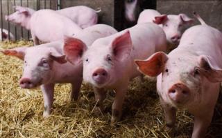 Cuestionamientos al freno a una ley que protegía al sector porcino