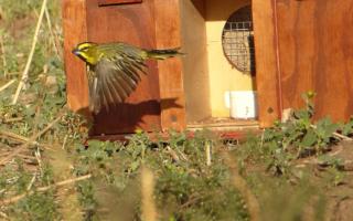 Liberaron ejemplares de cardenal amarillo en Provincia, una especie en peligro de extinción