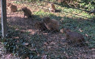 Las crías de carpincho no se mueven del alambrado y buscan regresarlas