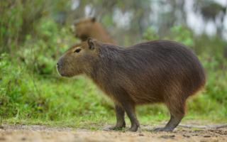 Pehuajó: Por los accidentes, Juntos por el Cambio pidió pasos bajo a nivel en rutas para carpinchos y fauna silvestre