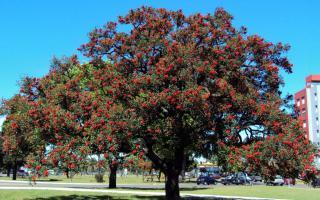 El arbol del ceibo tiene la flor nacional de la Argentina