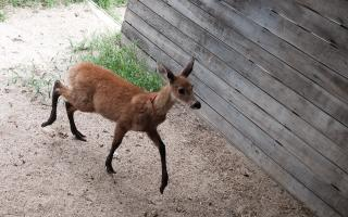 El ciervo en Temaikén