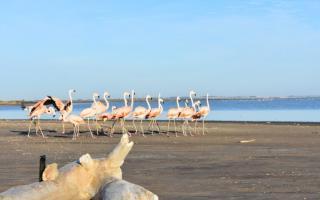 Adolfo Alsina: Liberaron en el Lago Epecuén 19 flamencos rescatados del tráfico ilegal