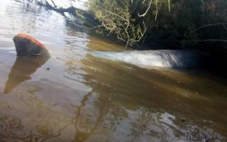 Escobar: Hallaron una ballena muerta en el Río Paraná