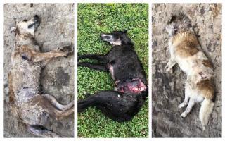 Perros muerto en Chivilcoy. Foto: Proyecto Galgo Argentina