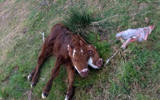 Nació una ternera con dos cabezas en Villarino