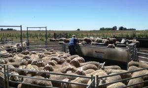 Coronel Pringles: Seis firmas exportadoras compraron 80 mil kilos de lana bonaerense