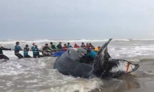 Las tareas para devolver al mar a la ballena.