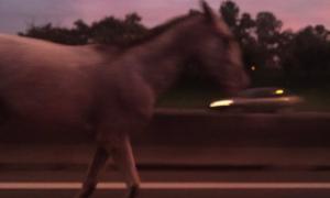 Alarma en Panamericana por un caballo suelto.