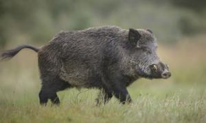 El gobierno bonaerense autorizó la caza del jabalí o chancho cimarrón en Azul