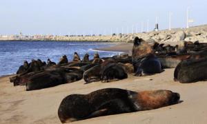 Los lobos marinos descansan en la escollera de Necochea.