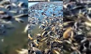 Junín: Gran mortandad de peces en Laguna El Carpincho