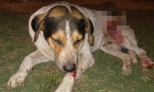 Cruel ataque a un perro en Tapalqué: Identificaron al que apuñaló al animal (Tapalqué Digital)