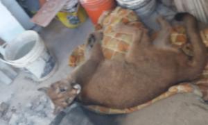 Hallaron en La Plata un puma robado