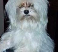 Rocco, el perro robado. Foto: 0223.com.ar