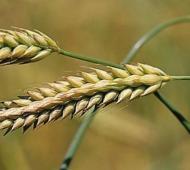 Exportaciones de cebada cultivada en Provincia ascendieron a US$ 658 millones en lo que va del año