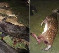 Matanza de ciervos en Madariaga: Inician causa por violación a la ley de fauna