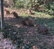 Las crías de carpincho no se mueven del alambrado y buscan la manera de regresar junto a sus familias.