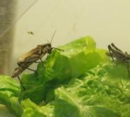 La Provincia de Buenos Aires desarrollará un controlador biológico para la tucura