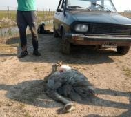 Se trasladaban en el auto con 6 perros galgos de diferentes pelajes y 1 ñandú muerto.