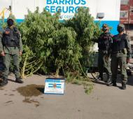 Gendarmería decomisó diez plantas de marihuana en una vivienda del barrio Carlos Gardel enEl Palomar