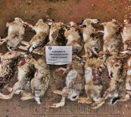 Carlos Casares: Los detuvieron por caza furtiva de liebres y con armas sin papeles