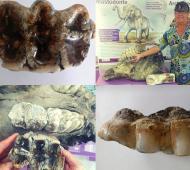 Monte Hermoso:Hallaron un molar de mastodonte que tendría entre 10 mil y 30 mil años de antigüedad