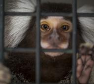 Devuelven a santuario siete monos titís rescatados en Villa Ballester