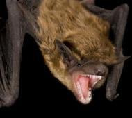 Nuevos casos positivos de murciélagos con rabia en Azul