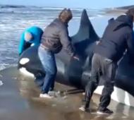 La Costa: Orca quedó varada en Nueva Atlantis
