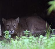 Liberan a puma en una reserva de Coronel Dorrego tras ser tratado en el Bioparque platense