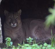 El Bioparque platense recibió y brinda tratamiento a un puma rescatado en Maipú