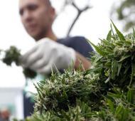 El aceite de cannabis podrá utilizarse para tratar la epilepsia.