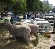 Primer Expo Ovina en San Cayetano: Destacan recuperación de una exposición para el distrito