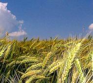El trigo, mercado clave en el sudeste bonaerense.