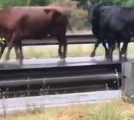 Video: Tras vuelco, vacas corrieron sueltas en la autopista Ezeiza Cañuelas